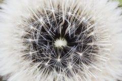 Dandelion seed pod Stock Photos