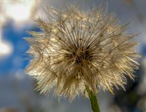 Dandelion seed puff illuminated by the light stock photos