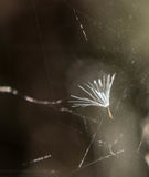 Dandelion Seed in Spider Web Royalty Free Stock Photo