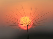 Dandelion seed with sun royalty free stock images