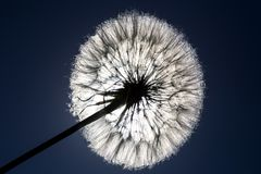 Dandelion Seed and Sun Stock Photos