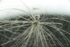 Dandelion seed under a strong increase. On a light background. Macro Stock Photos