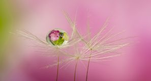 Dandelion seed with water drop royalty free stock photography