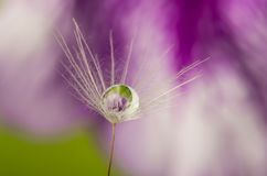 Dandelion seed with water drop stock photography