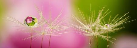 Dandelion seeds with water drop stock image