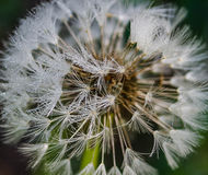 Dandelion seed with water drops Stock Photos