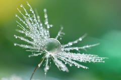 Dandelion seed with water drops. Water drop on dandelion seed closed up on blurred grass background royalty free stock photo