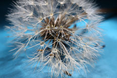 Dandelion seed Royalty Free Stock Photography
