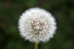 Dandelion seed. Stock Images