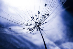 Free Dandelion Seed With Waterdrops And Reflexions Royalty Free Stock Images - 43645389