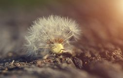 Dandelion seed on wooden background Stock Photo