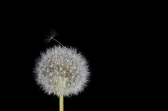 Dandelion Seed Working Free Royalty Free Stock Photo