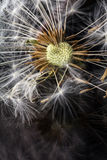 Dandelion seedbed on a reflective surface Stock Images