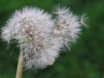 Dandelion Seedhead. A dandelion seedhead blowing in a breeze Royalty Free Stock Photography