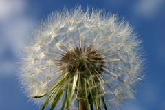 Dandelion Seedhead Zdjęcia Stock