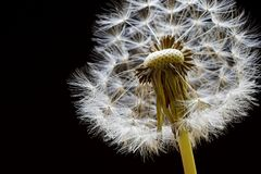 Dandelion Seedhead. Backlit dandelion seedhead on a black background Royalty Free Stock Image
