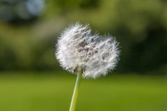A Dandelion Seedhead. A close up of a dandelion seedhead with a green background Royalty Free Stock Photography