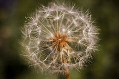 Dandelion seedhead on green. Closeup of a head of seeds on a mountain dandelion against a blurred green background Stock Photo