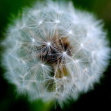 Dandelion Seedhead. A macro view of the delicate webs of a dandelion seedhead Royalty Free Stock Image