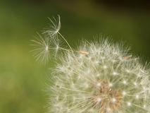 Dandelion seedhead Royalty Free Stock Images