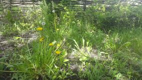 Dandelion with seedling florets. Wooden fence is in distant dark shadows in the background. Dandelion with seedling florets. Wooden fence is in distant dark stock video