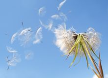 Dandelion seeds. Blown in the wind against blue sky background stock photo