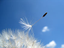 Dandelion seeds 12. Dandelion seeds in the wind Royalty Free Stock Images
