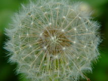 Dandelion seeds. Close-up dandelion seeds, often referred to as paratroopers, focus on the center or the head of the flower Royalty Free Stock Photography