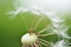 Dandelion seeds Royalty Free Stock Photos