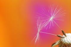 Dandelion seeds. Macro of dandelion flower seeds Royalty Free Stock Image