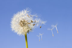 Dandelion seeds. Dandelion offspring detached by the wind isolated on blue sky background Stock Photos