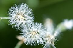 Dandelion Seeds Royalty Free Stock Photography