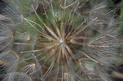 Dandelion seeds. Closeup of light, feathery dandelion seeds Stock Images