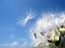 Dandelion seeds 21. Dandelion seeds in the wind Royalty Free Stock Photos