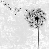 Dandelion with seeds. In the wind Royalty Free Stock Photo