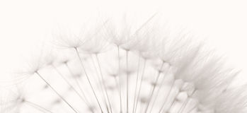 Free Dandelion Seeds Stock Photos - 23601173