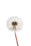 Dandelion seeds. Isolated dandelion seeds on white background royalty free stock photos