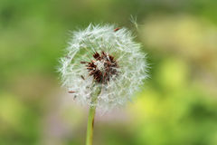 Dandelion Seeds. Being blown by the wind Royalty Free Stock Photography