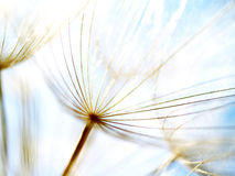 Dandelion seeds 39, with tiny depth of field. Dandelion seeds with blue sky and clouds in background Royalty Free Stock Photos