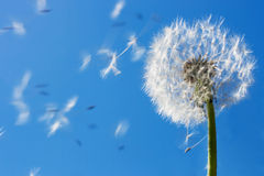 Dandelion Seeds. Flying in the blue sky. Useful for spring themes or serenity, joy, freedom concepts. Space for copy stock photo