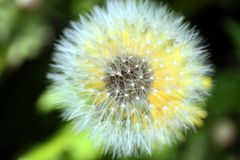 Dandelion seeds Royalty Free Stock Images