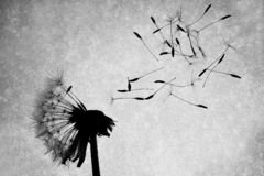 Dandelion Seeds. Fly off the dandelion after they were blown by the wind Royalty Free Stock Images