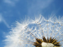 Dandelion seeds (71). Dandelion seeds, with tiny depth of field, against blue sky with clouds Royalty Free Stock Photos