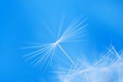 Dandelion seeds. Macro photo of Dandelion seeds blowing in the wind Royalty Free Stock Photos