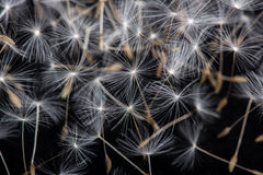 Dandelion seeds. Dandelion abstract background, close-up flowers feather Royalty Free Stock Photography