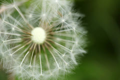 Dandelion seeds abstract background. Stock Photos
