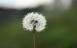 Dandelion seeds abstract background. Royalty Free Stock Photography