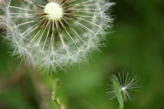 Dandelion seeds abstract background. Royalty Free Stock Image