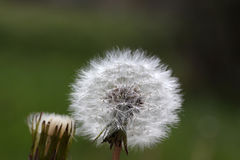 Dandelion seeds abstract background. Royalty Free Stock Photos
