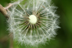 Dandelion seeds abstract background. Stock Photo